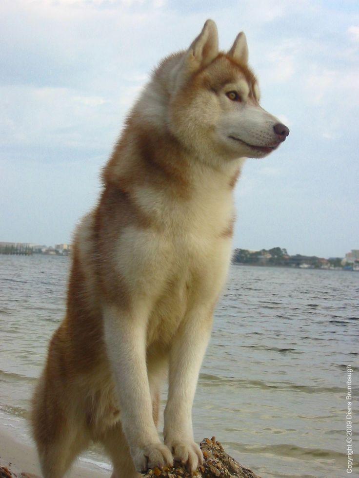 Kavik's dad (Morpheus) from the best breeder - Jalerran Siberians :)