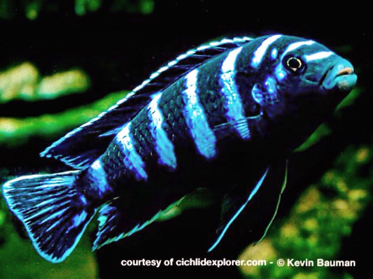 37 best images about african cichlid obsession on for What is the scientific name for fish