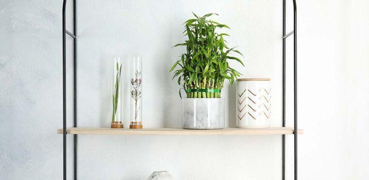 Der Glucksbambus Ist Eine Schone Zimmerpflanze Die Auch Bei Schlechten Bambus Ideen Auch Bambus Zimmerpflanzen Schone Zimmerpflanzen Glucksbambus