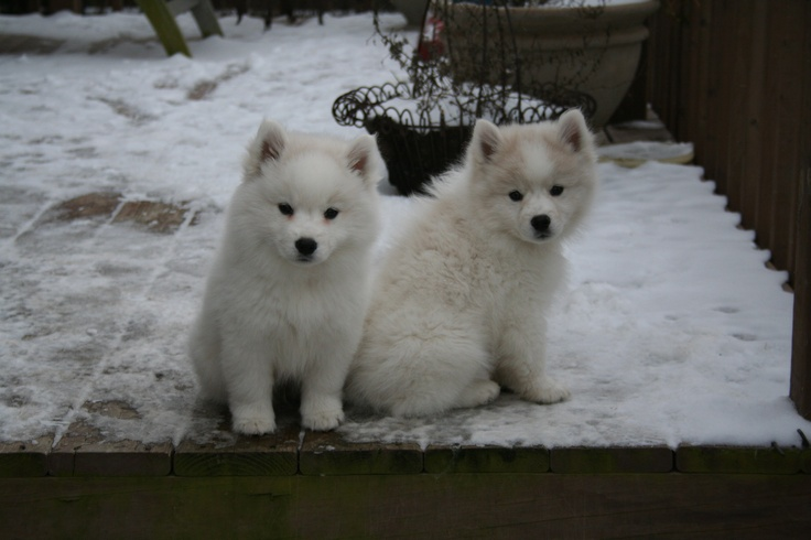 American Eskimo Dog For Sale Nyc