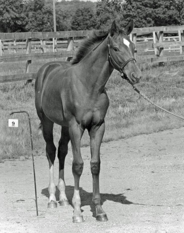 """A hard to find photo of Secretariat as a foal. My horse is related to her 5th generation BABY !!!!! Look it up on jockeyclub.com my horses name Is """"the way of the west"""""""
