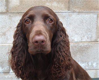 Tilly, aka Bramast Glenmorhan, the Field Spaniel bred and owned Michele Elliott