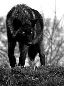A beautiful black wolfWild, Black N White, Black Wolf, Lonely Wolf, Blackwolf, Beautiful, The Hunting, Black Wolves, Animal