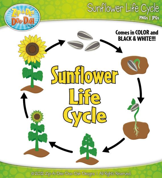 Life Cycle Of A Sunflower Google Search Fun For Kids