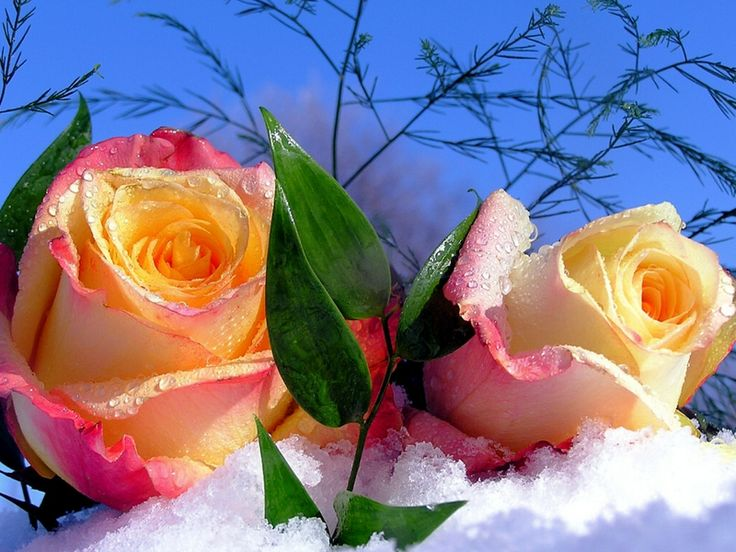 17 best images about roses on pinterest peach rose - Rose in snow wallpaper ...