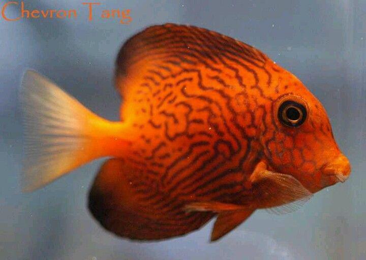 Saltwater Chevron Tang fish