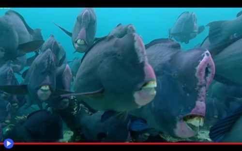 Il pesce pappagallo, che mangia roccia ed espelle corallo Siamo fatti di polvere di stelle, tu ed io, materia cosmica che splende nell'oscurità. Schegge d'esistenza fuoriuscite dal vortice esplosivo di una supernova: ecco un'immagine che è poesia e al tempo #animali #pesci #natura #ambiente #oceano