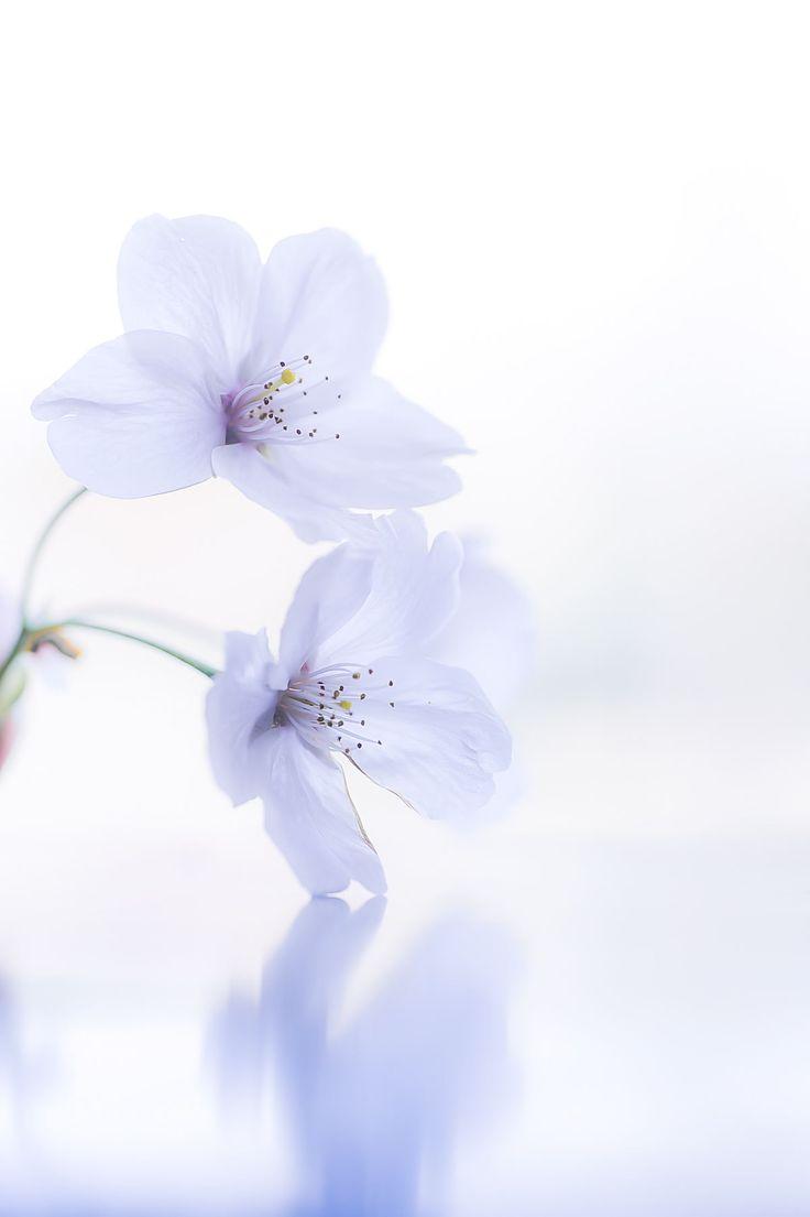 Sakura by naoki nomura on 500px