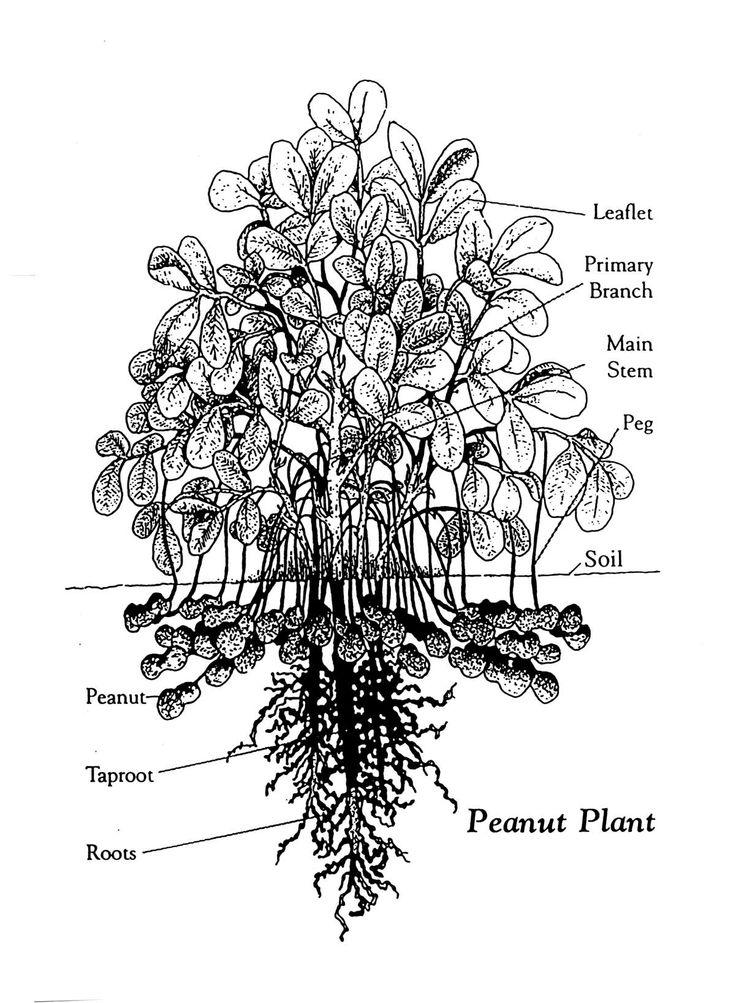 george washington carver - diagram of peanut plant