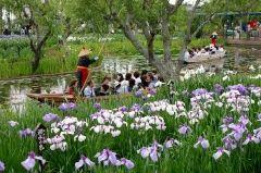 千葉県香取市の水郷佐原あやめパークではいま見ごろのあやめを楽しむイベント水郷佐原あやめ祭りが行われています 水郷をイメージして島や橋水面を配置した園内に江戸肥後伊勢系など400品種150万本の花菖蒲 普通に見るだけでも充分に綺麗だけどさっぱ舟から見るあやめも情緒たっぷりで素敵ですよ()v この時期ならではの鮮やかなあやめの花畑をお見逃しなく tags[千葉県]