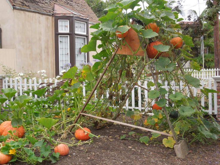 Verticalizando o jardim / horta. Treliça para abóboras.  Fotografia: fromseedtoskillet.com