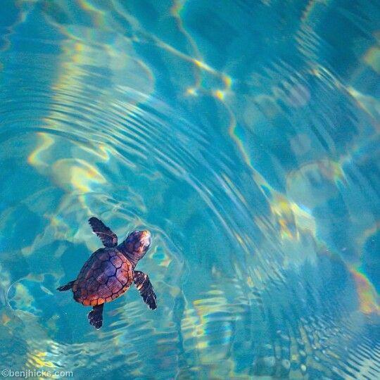 Best 25 sea turtle species ideas on pinterest sea - Can babies swim in saltwater pools ...