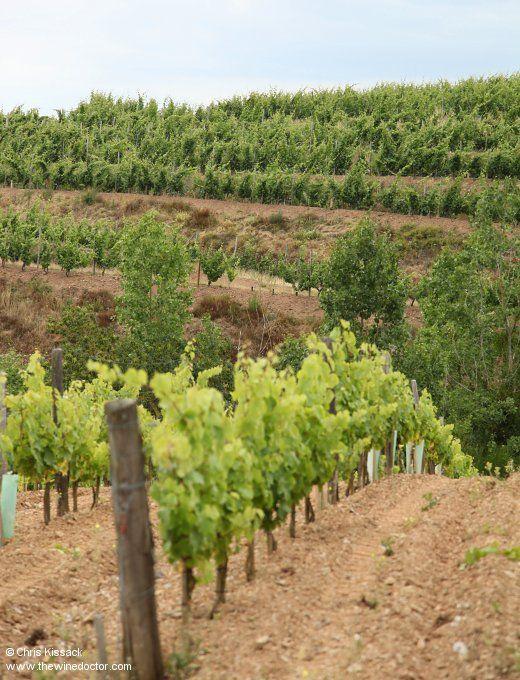 The 'vignes hautes et large' of Domaine des Baumard on the terraces opposite, in the Quarts de Chaume vineyard, July 2014