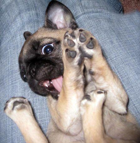 http://cdn-www.dailypuppy.com/media/dogs/anonymous/Chelsie_Pug_Chihuahua_Mix_09.jpg_w450.jpg