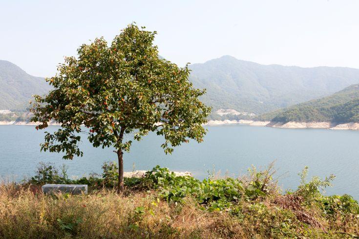 Bildergebnis für kakibaum