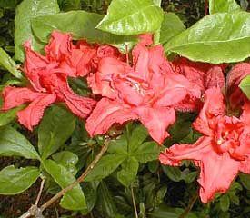 Rhododendron'Girard's Red Pom Pom'