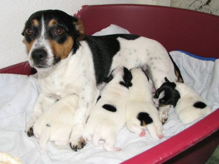 THE MOST PRECIOUS THING EVER!!jack russell puppies   Jack Russell Puppies Photo Gallery - Jack Russell Terrier UK