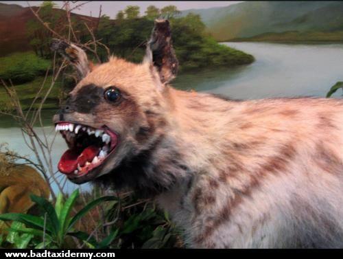 taxidermies loupees hyene   Taxidermies loupées   2   tigre taxidermie singe puma photo ours lynx image horreur fail empaille empaillage cha...