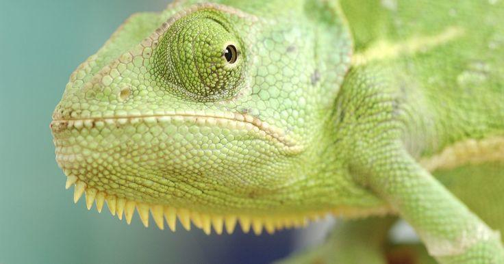 O que os camaleões comem?. A dieta de ambos camaleões, os que vivem em cativeiros e os selvagens, consiste na ingestão de insetos. Embora muitas espécies são conhecidas por se alimentarem de vegetais e plantas. Os camaleões maiores tendem a possuir um comportamento alimentar mais diversificado, consumindo pequenos pássaros e outros lagartos. Todos aqueles que vivem em ...