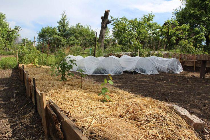 Mulch from straw under berries - Mulč zo slamy pre bobuloviny