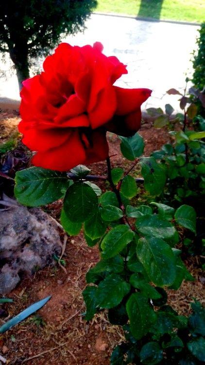 Roses In Greece 2016