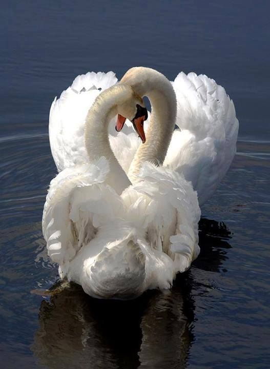 Their Loyalty To Their Mate Is So Storied That The Image Of Two Swans With Their Necks Entwined In The Shape Of A Heart Has Become A Nearly Universal Symbol Of Love.....They Often Mate For Life.....