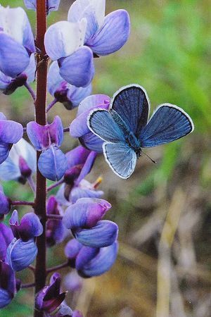 I ❤ butterflies . . . Karner blue butterfly on wild blue lupine New York, Wilton Wildlife ...