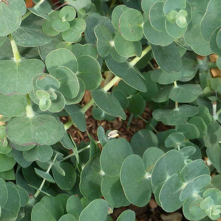Eucalyptus gunnii 'Baby Blue' - Gommier cidre bleu compact