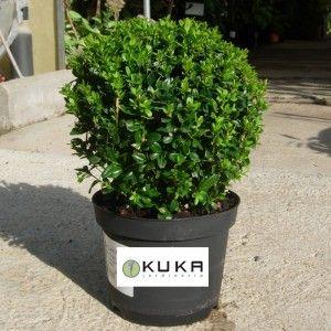 Boj sempervirens forma bola baja arbusto perennifolio y for Arbustos para macetas exterior
