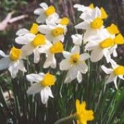 Narcissus 'Jenny' (Daffodil 'Jenny') Click image to learn more, add to your lists and get care advice reminders each month.: Narcissus Daffodils, Care Advice, Creamy Whit Daffodils, Advice Reminder, Daffodils Jenny, Narcissus Jenny, Click Image