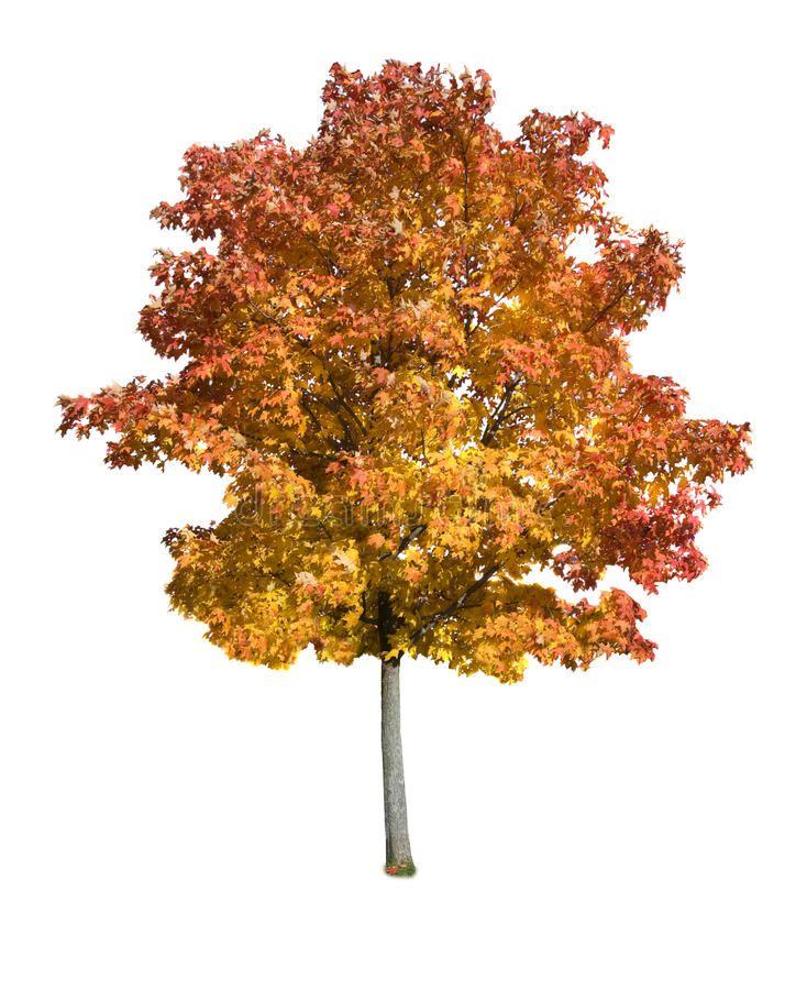 Maple tree isolated. Autumn Maple tree isolated on a white background ,  #AFF, #isolated, #tree,… | Tree photoshop, Tree photography, Landscape  architecture graphics