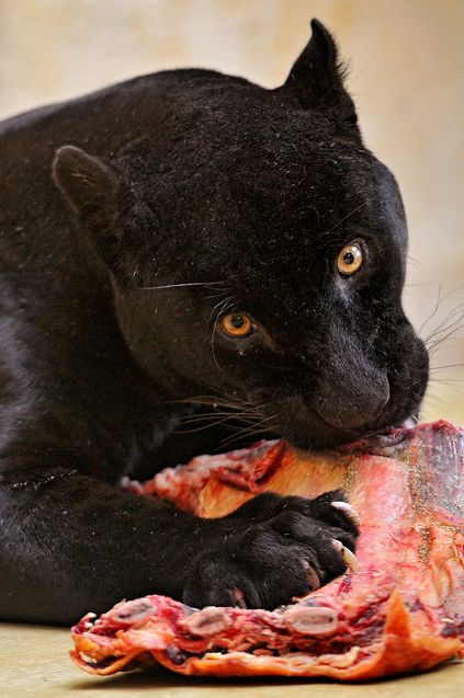 Panther eating some Wildcat meat! | Panther Pride! | Cats ...