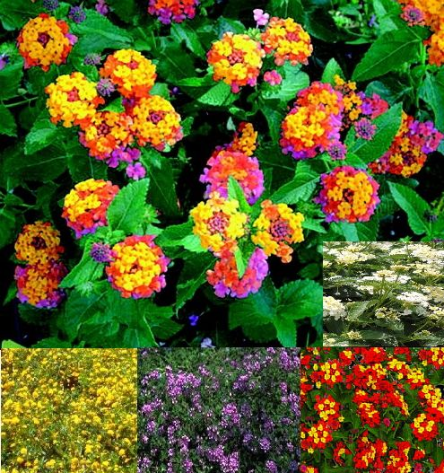 Lantana (Verbenaceae Camara) - Zone 9-12 (Will come back after a frost.) 2'-4' Height x 3'-6' Width Full Sun. Continuous, evergreen bloomer. Drought tolerant once established. Fast growing. Flowers mid-summer late into the fall. Attracts butterflies and hummingbirds. Varieties: Cherry Sunrise (yellow&pink), Wild Sage (Involucrata) (white), Gold Mound (yellow), Fireworks (red&yellow), Lavender (purple).  Propagate by seeds (self-seeding), cuttings.