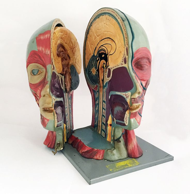 Vintage Head Human Half Section Head Anatomical Model / Human Anatomy / Adam Rouilly Brain Model by GrandpasMarket on Etsy https://www.etsy.com/ca/listing/177281134/vintage-head-human-half-section-head