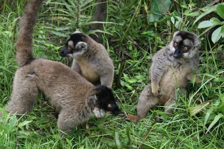 Beautiful Lemurs
