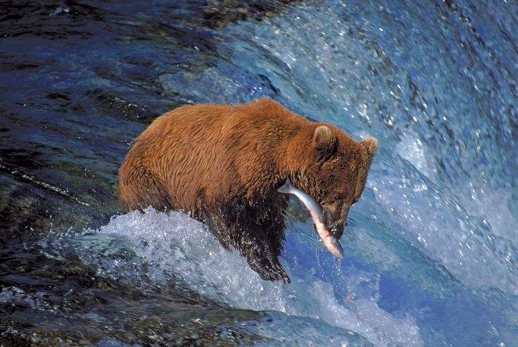 17 Best Bear Project Images On Pinterest Grizzly Bears