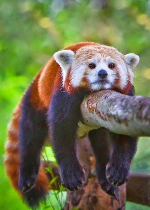 Panda vermelho ~ Dreamy Nature