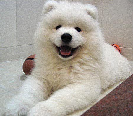 our daughters { Carrie} said mama it looks like a baby polar bear sooooooo cute  Samoyed ♥
