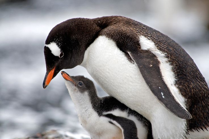 The Gentoo penguin is easily distinguished from others by its bright orange-red bill & conspicuous white patches above each eye. These white patches, which usually meet across the crown, contrast with the black head & throat, but there may also be a scattering of white feathers on the head. The white underparts are sharply separated from the penguin's bluish-black back, which appears browner as the feathers become worn. Gentoos have pale whitish-pink webbed feet & a fairly long tail.