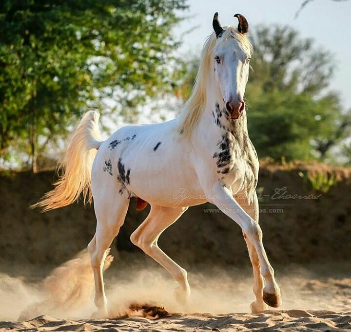 WOW, love the markings on this Marwari stallion!