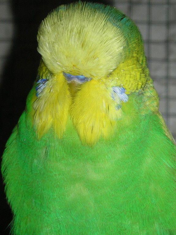 Галереи питомцев - выставочный волнистый попугай