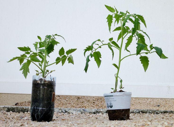 1000 id es sur le th me plants de tomate sur pinterest - Quand planter les tomates cerises ...