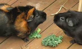 Can Guinea Pigs Eat Bananas Skin and Banana Peels?  Tags: can guinea pigs eat bananas and apples can guinea pigs eat bananas chips can guinea pigs eat dried bananas can baby guinea pigs eat bananas can rabbits guinea pigs eat bananas can guinea pigs eat g