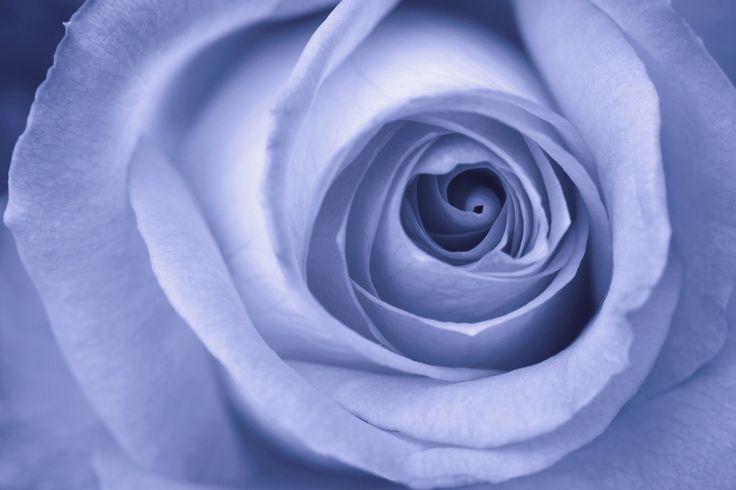 Blue Rose Fototapeter & Tapeter