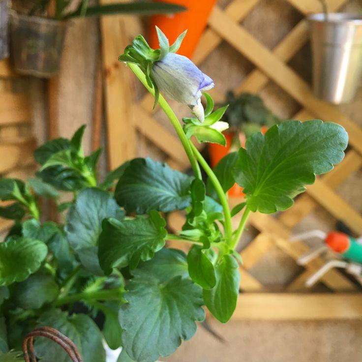 Lembram da campanha para plantar amor-perfeito no inverno?! Agora na primavera os meus estão começando a dar flores 😍. Em breve vou fazer um post falando em detalhes sobre essa flor encantadora desde o plantio a partir de sementes até a floração.   #saberesdojardim #amorperfeito #meujardim #minhasplantas #jardimnavaranda #jardimdeapartamento