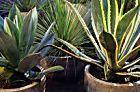 Plantas que pedem pouca água: agaves e suculentas | Casa