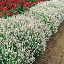 Rosliny Kwiaty Wieloletnie Byliny Flower Garden Design Plants Flower Garden