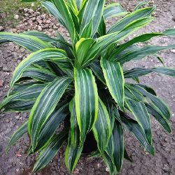 Dracaena warneckii 'lauren'.  Another new plant to look for.  Leaves are as wide as janet craig.  Ask your friendly neighborhood plant store.