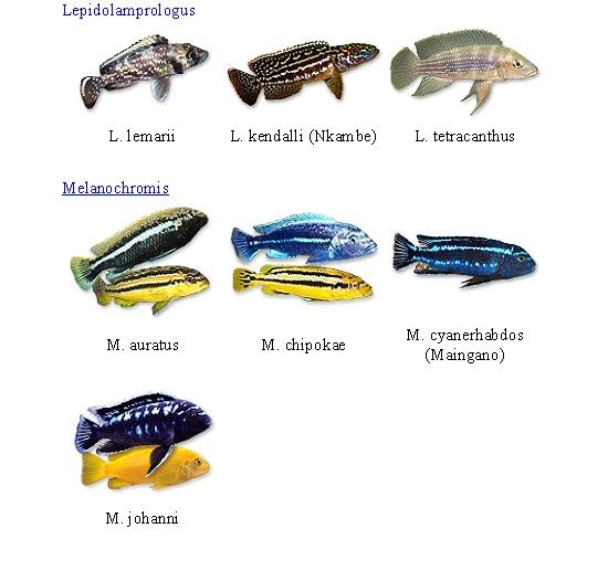 1000+ images about ciclidos on Pinterest Cichlids, African Cichlids ...