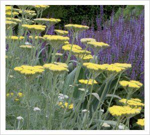 sommar parasoll -- Röllika - Achillea 'Coronation Gold' -- bra i framkanten av rabatten eller som komplement till spiror. grögrönt bladverk. full sol, härdig. blomn. juli-aug. 80cm.